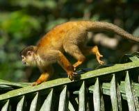Macaco de esquilo Fotografia de Stock