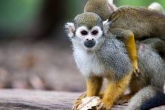 Macaco de esquilo Foto de Stock Royalty Free