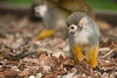 Macaco de esquilo Fotos de Stock Royalty Free