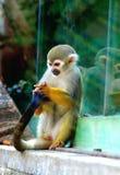 Macaco de esquilo Fotos de Stock
