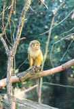 Macaco de esquilo Foto de Stock