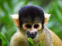 Macaco de esquilo Imagem de Stock Royalty Free