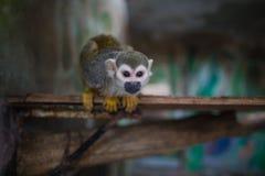 Macaco de esquilo bonito Fotos de Stock Royalty Free