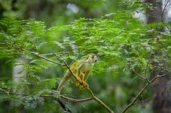 Macaco de esquilo comum que joga nas árvores, dentro do parque nacional de Cuyabeno em Equador, Ámérica do Sul Imagens de Stock