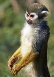 Macaco de esquilo comum (sciureus do Saimiri) Fotos de Stock Royalty Free
