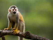 Macaco de esquilo em uma filial Foto de Stock Royalty Free