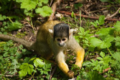Macaco de esquilo no close-up Fotografia de Stock Royalty Free