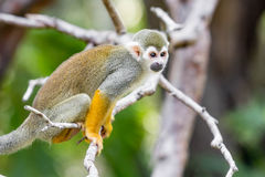 Macaco de esquilo pequeno foto de stock