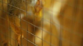 Macaco de esquilo Sajmir video estoque