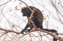 Macaco de furo Foto de Stock Royalty Free