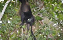 Macaco de furo Imagem de Stock Royalty Free