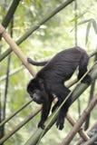 Macaco de furo preto - Alouatta Palliata Fotografia de Stock