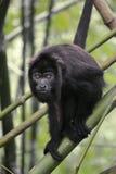 Macaco de furo preto - Alouatta Palliata Fotos de Stock Royalty Free
