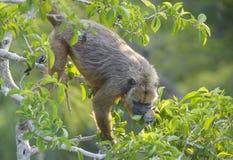 Macaco de furo preto (caraya do Alouatta) Fotografia de Stock Royalty Free