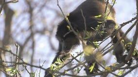 Macaco de furo selvagem que come as folhas no movimento lento vídeos de arquivo
