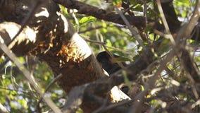 Macaco de furo selvagem que esconde atrás dos ramos em uma árvore tímida e tímida filme