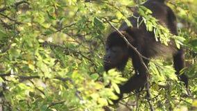Macaco de furo selvagem que forrageia para o alimento video estoque