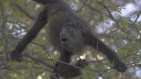 Macaco de furo selvagem que forrageia para o alimento no movimento lento vídeos de arquivo