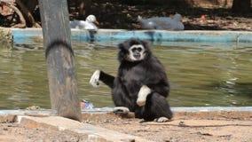 Macaco de Gibbon filme