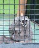 Macaco de Gibbon em uma gaiola imagens de stock royalty free