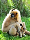 Macaco de Gibbon (Nomascus) que importa-se com o bebê Imagens de Stock Royalty Free
