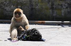 Macaco de Gibraltar que steeling Imagens de Stock Royalty Free