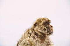 Macaco de Gurading Foto de Stock