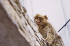 Macaco de Gurading Fotos de Stock
