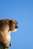 Macaco de Howler Imagem de Stock