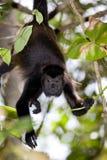 Macaco de Howler Fotos de Stock