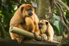Macaco de howler preto imagens de stock
