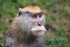 Macaco de hussardo imagens de stock royalty free