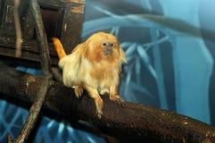 Macaco de leão Foto de Stock Royalty Free