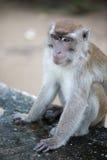 Macaco de Macaque Foto de Stock Royalty Free
