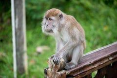 Macaco de Macaque Fotografia de Stock