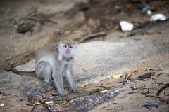 Macaco de Macaque Fotos de Stock