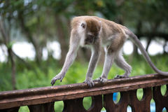 Macaco de Macaque Imagem de Stock Royalty Free
