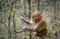 Macaco de Macaque 4 fotos de stock