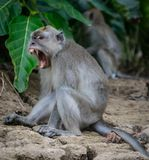 Macaco de macaque de cauda longa que mostra seus dentes na ilha de Bornéu, Sabah imagem de stock royalty free