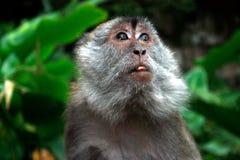 Macaco de macaque da caverna de Batu Imagem de Stock Royalty Free