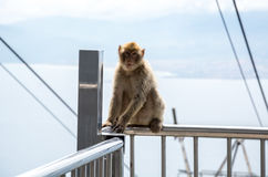 Macaco de macaque de Barbary Imagens de Stock