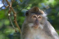 Macaco de Macaque de cauda longa fotos de stock royalty free