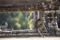 Macaco de Macaque de cauda longa que senta-se em ruínas antigas de Angkor Wa Foto de Stock