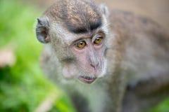 Macaco de macaque do bebê Fotografia de Stock Royalty Free