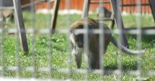 Macaco de Macaque no captiveiro vídeos de arquivo