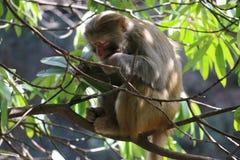 Macaco de Macaque selvagem do Rhesus na árvore Foto de Stock