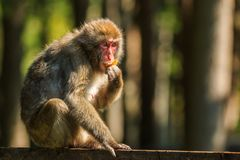 Macaco de Makak do japonês Imagem de Stock