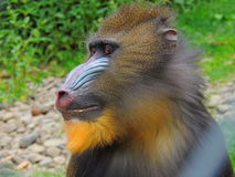 Macaco de Mandrill Foto de Stock Royalty Free