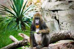 Macaco de Mandrill no jardim zoológico Imagem de Stock Royalty Free