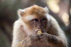 Macaco de Morocan Fotografia de Stock